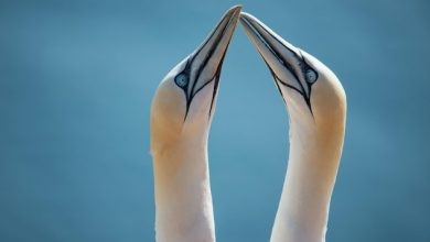 Photo of Northern gannets reproduction rate is on the rise