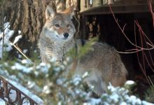 Photo of Cattle producer suffers repercussions from coyote proliferation in Gaspésie