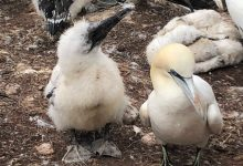 Photo of Gannet reproductive rate on the rise