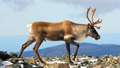 Photo of A new consultation, but little hope for the Gaspé caribou