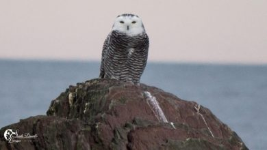 Photo of The snowy owl, an owl heralding winter in Eastern Quebec